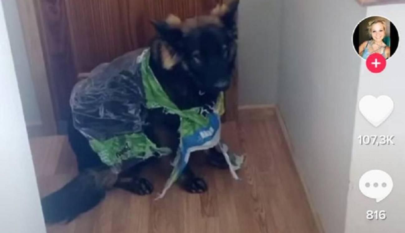 Cosas Chistosas Para Compartir En Whatsapp cosas chistosas de la cuarentena: perro destrozó papel