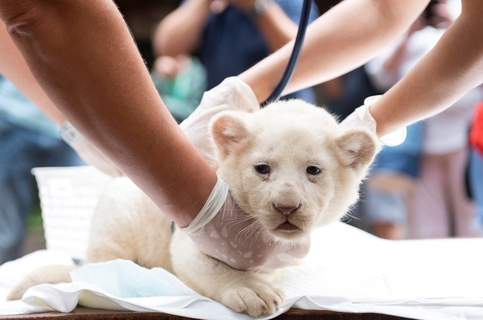 Trillizos leones blancos: Galería: Nacen trillizos de leones blancos en Hungría