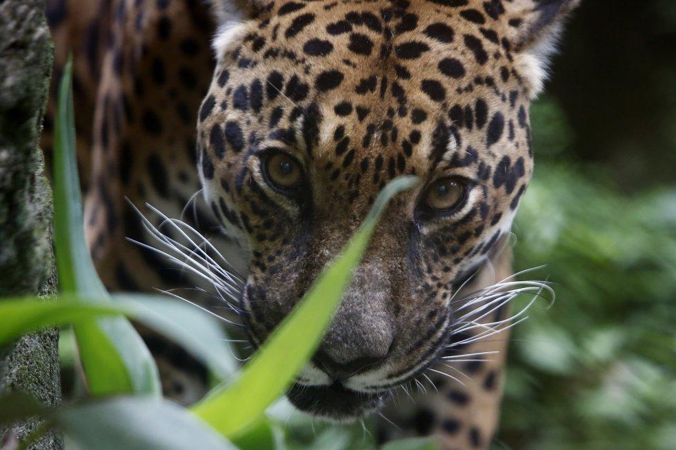 Fotografía de un jaguar el 20 de abril de 2021, en el Parque de la Conservación, en Medellín Colombia.