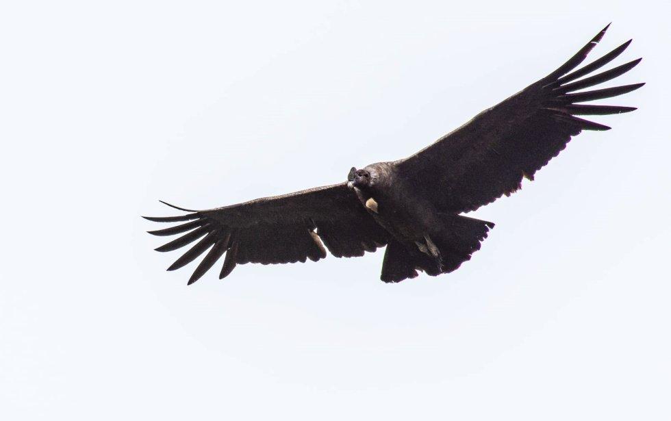 En el páramo del Almorzadero, emporio de agua y frailejones de los santanderes, hay registros de por lo menos 160 especies de aves. El cóndor de los Andes figura entre uno de sus mayores tesoros.