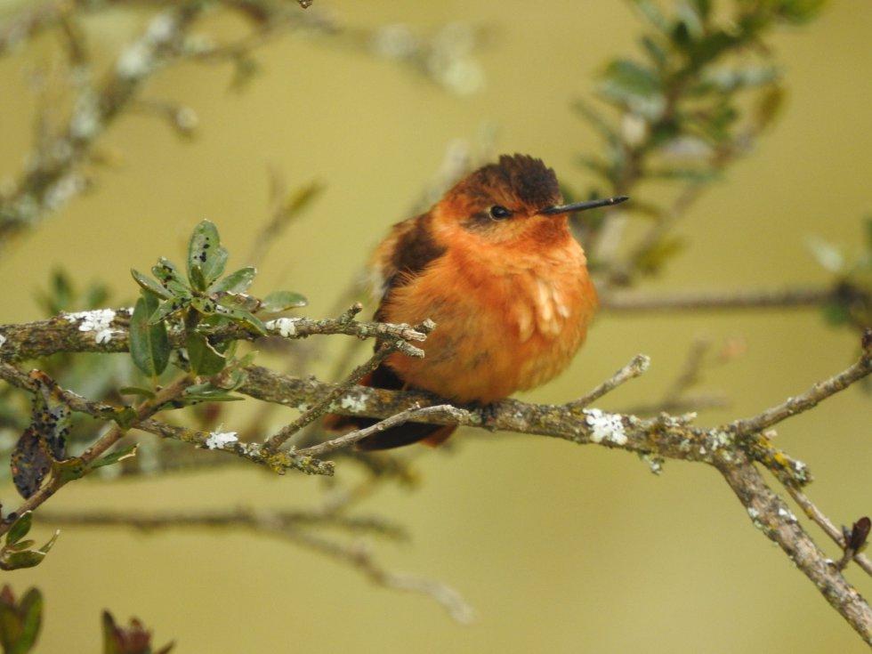 En los recorridos por las entrañas del Almorzadero, EXPEDICIÓN PÁRAMO registró cerca de 40 especies de aves. Una de las que más dejó ver su belleza fue el colibrí paramuno (Aglaeactis cupripennis).