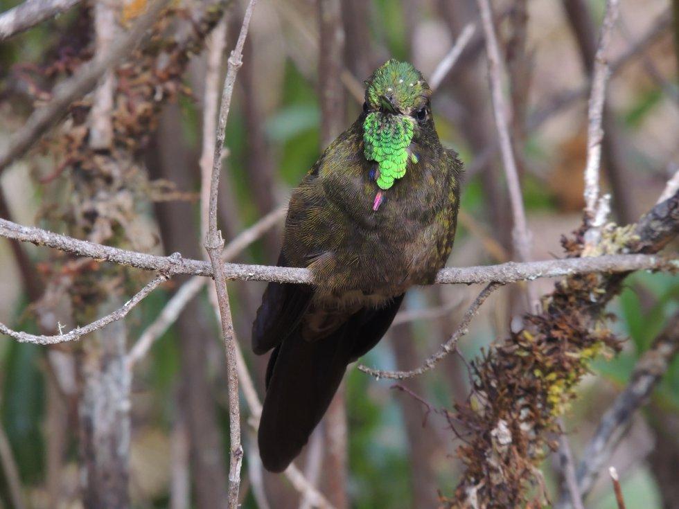 El colibrí pico espina bronceado (Chalcostigma heteropogon) es un ave que solo habita en Colombia y Venezuela. Revolotea con frecuencia por el páramo del Almorzadero en los Santanderes.