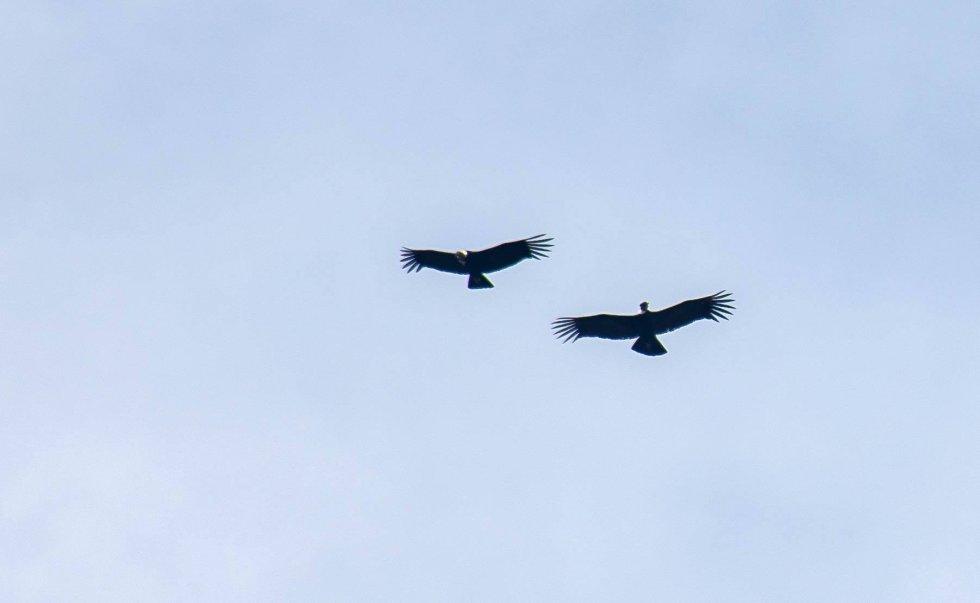 EXPEDICIÓN PÁRAMO avistó 10 cóndores de los Andes volando en lo más alto de las formaciones rocosas del Almorzadero. Los habitantes de la zona lo llaman el mensajero del Sol.