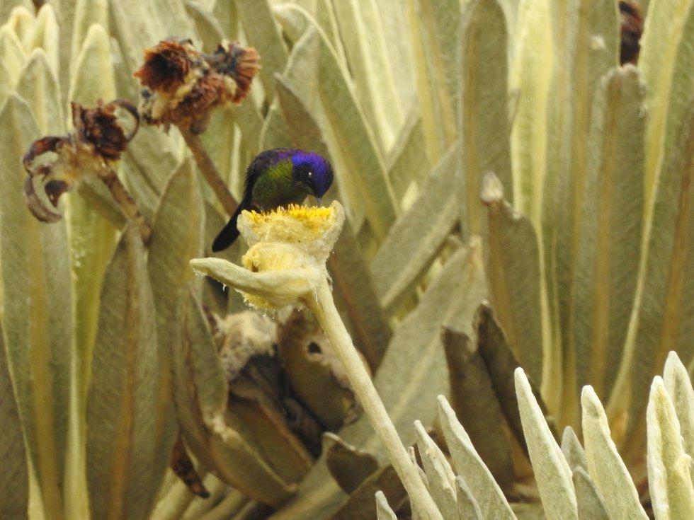 El colibrí pico espina (Ramphomicron microrhynchum) apareció en los valles de frailejones del páramo del Almorzadero durante la expedición. Esta ave habita en las zonas altas de Colombia, Bolivia, Ecuador, Perú y Venezuela.