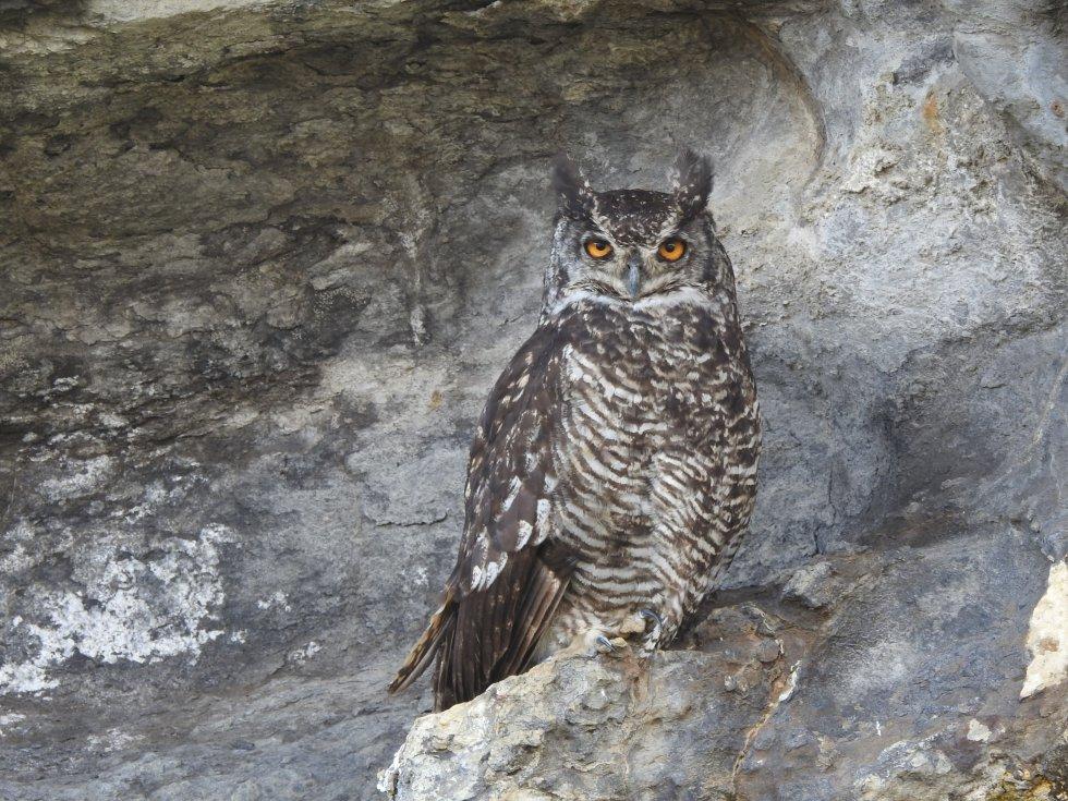 En las cuevas del páramo del Almorzadero habita el búho más grande de Colombia: Bubo virginianus, más conocido como el búho real, ave que alcanza a medir hasta 60 centímetros de alto.