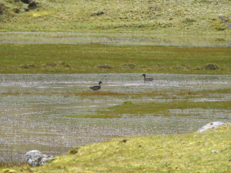 El pato de páramo (Anas andium) apareció en el sector del Mortiño del páramo del Almorzadero. Esta ave es única de las montañas andinas de Colombia, Venezuela y Ecuador.