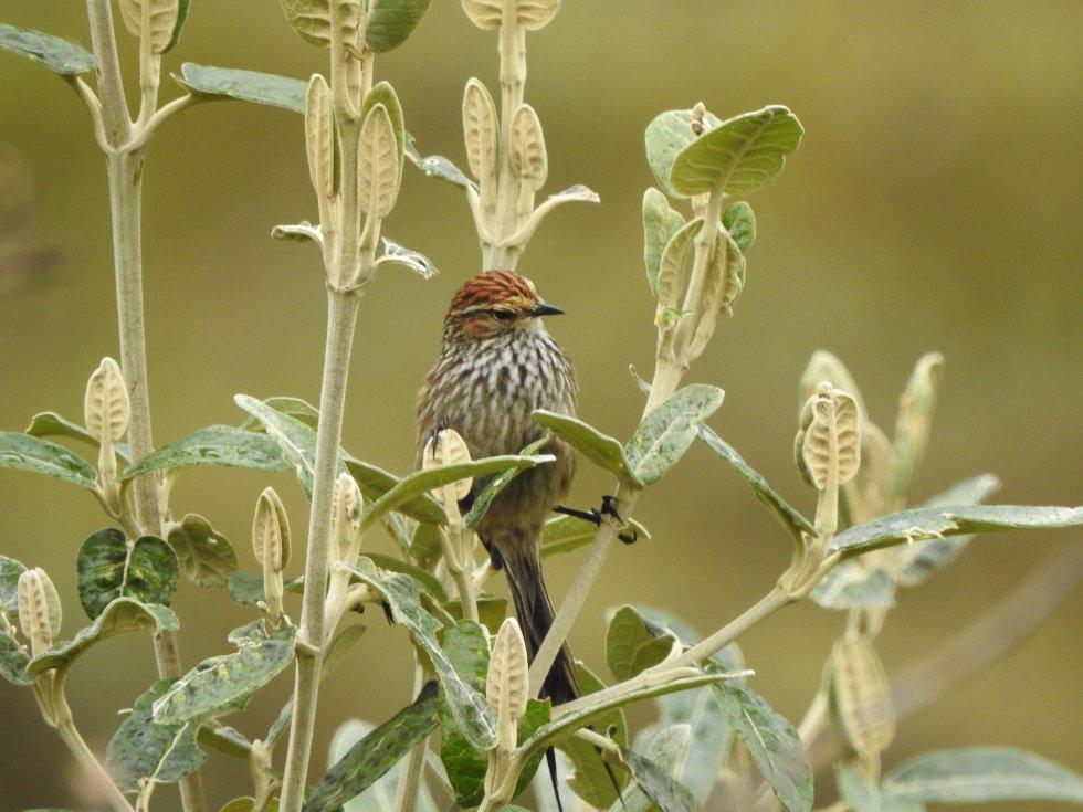 El canastero (Asthenes fuliginosa) es un ave nativa de varios países andinos de Sudamérica. EXPEDICIÓN PÁRAMO la registró en el páramo del Almorzadero, ubicado entre los Santanderes.