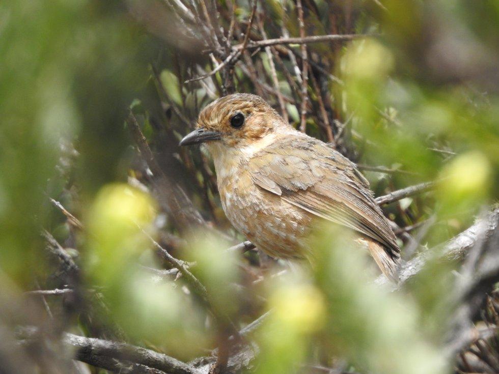 El tororoí leonado (Grallaria quitensis) es una de aves que habitan en Almorzadero y la cual fue registrada en la EXPEDICIÓN PÁRAMO.