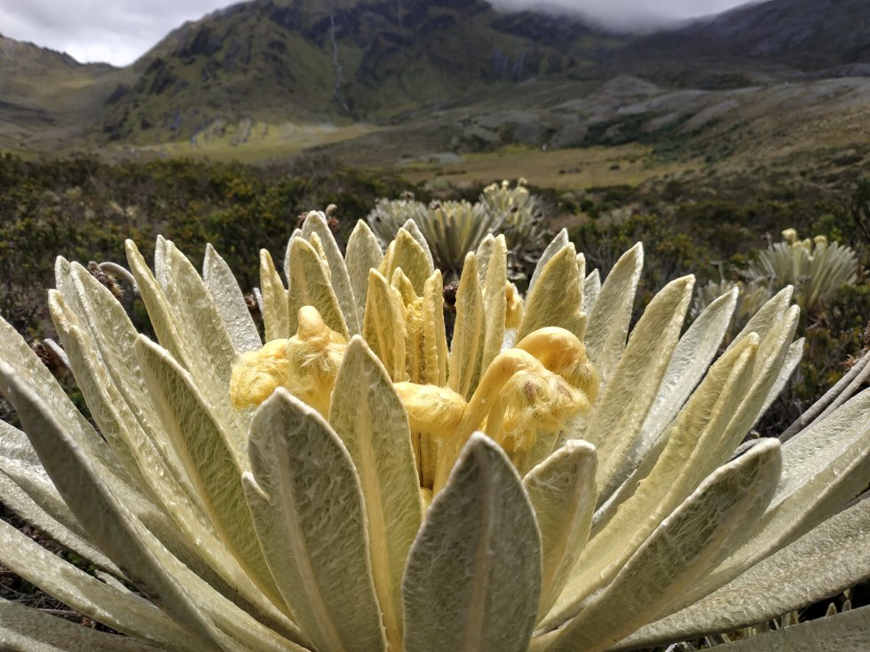 Cerca de 500 especies de plantas habitan en Almorzadero, una cantidad que representa el 9% de la flora de páramo de Colombia. Los frailejones centenarios, encargados de captar y almacenar agua, son sus mayores representantes.