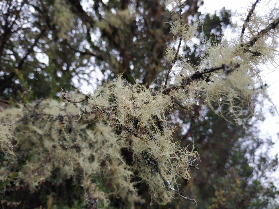 Las ramas de los árboles del bosque altoandino, ecosistema que le da paso al páramo, lucen pijamas de musgos, líquenes y barbas de viejo