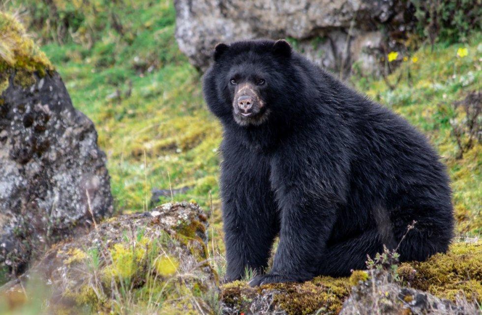 Más de 60 osos de anteojos han sido avistados en el páramo de Chingaza, el emporio hídrico que le surte agua al 80% de la población de Bogotá