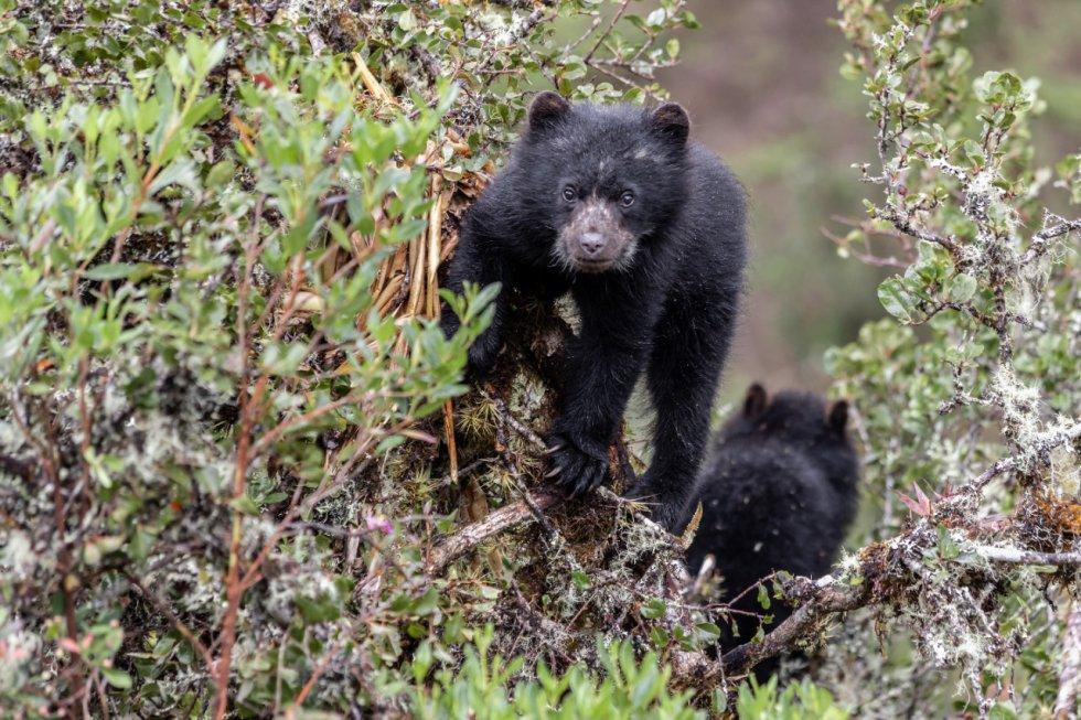La población de osos de anteojos de Chingaza es variada. Las cámaras trampa y avistamientos de Parques Nacionales Naturales han registrado machos y hembras, tanto adultos, juveniles y crías.