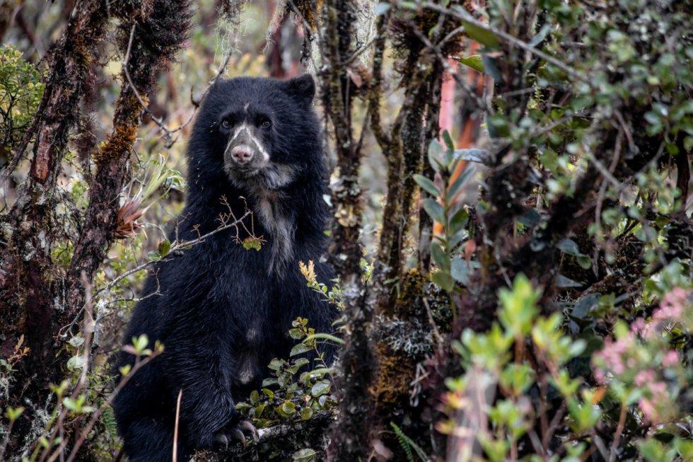Según Juan Carlos Clavijo, jefe del Parque Nacional Natural Chingaza, el buen estado ambiental del páramo de Chingaza es la principal razón de la gran cantidad de osos de anteojos.