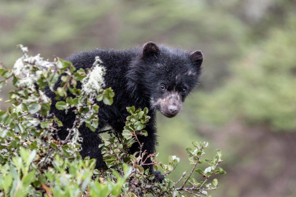 La presencia de crías de osos de anteojos en Chingaza indica que el páramo le ofrece alimento, refugio y hogar a la especie.