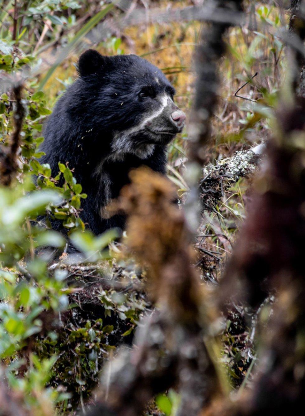 El oso de anteojos habita a lo largo de la cordillera de los Andes, desde Venezuela hasta Bolivia, pasando por Colombia, Ecuador y Perú.