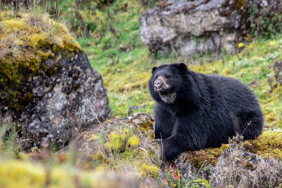 Es el único oso que habita en Sudamérica. Tiene una cabeza redonda, ojos y orejas pequeñas y hocico corto. Su sentido de la vista está poco desarrollado, por lo que depende del olfato para localizar alimento.