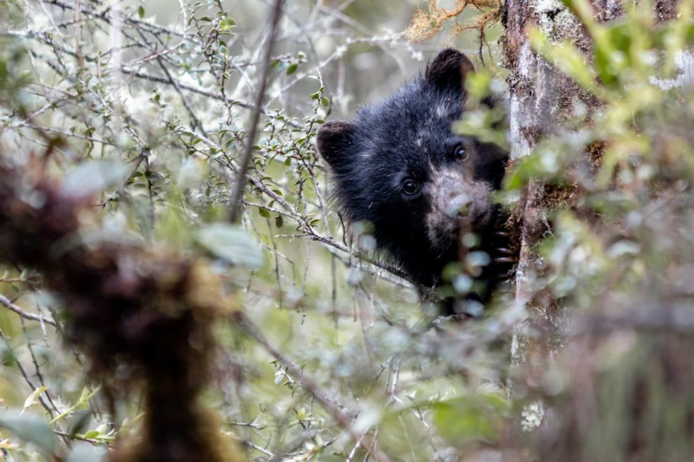 Según la Unión Internacional para la Conservación de la Naturaleza, el oso de anteojos está en la categoría de vulnerable a la extinción.
