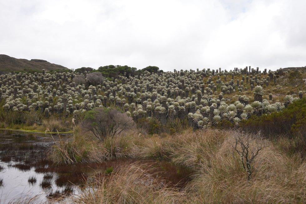 Los frailejones se encargan de captar el agua de la niebla para luego nutrir los humedales, lagunas y ríos