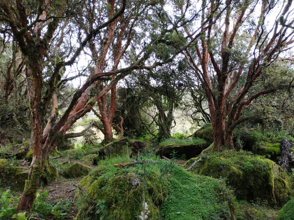 Guantiva-La Rusia alberga uno de los mayores relictos árboles colorados (Polylepis quadrijuga) en Colombia, una especie nativa de la cordillera Oriental