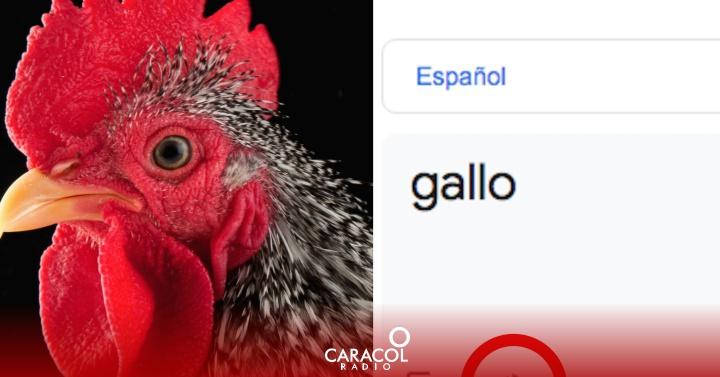 Google: Curiosa pronunciación de la palabra 'gallo' en Google Translate genera risas | Clic | Tecnología en Caracol Radio  | Caracol Radio