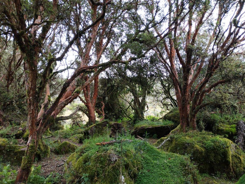 El colorado (Polylepis quadrijuga), también llamado siete cueros, es el único árbol que habita en las zonas más altas de los páramos, incluso a alturas superiores a los 4.000 metros sobre el nivel del mar.