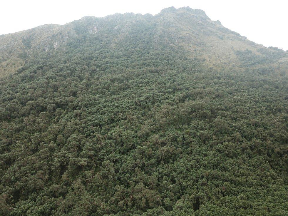 En el páramo Guantiva-La Rusia, ubicado en Boyacá y Santander, sobrevive el mayor parche o relicto de bosque de colorados, más de 16 hectáreas ubicadas en el municipio de Belén.