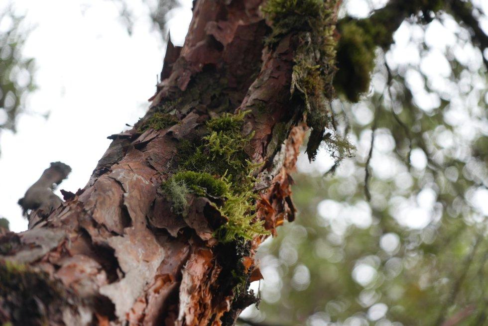 El colorado es una especie nativa de la cordillera Oriental de Colombia que solo habita en los páramos. La deforestación lo tiene en graves aprietos.