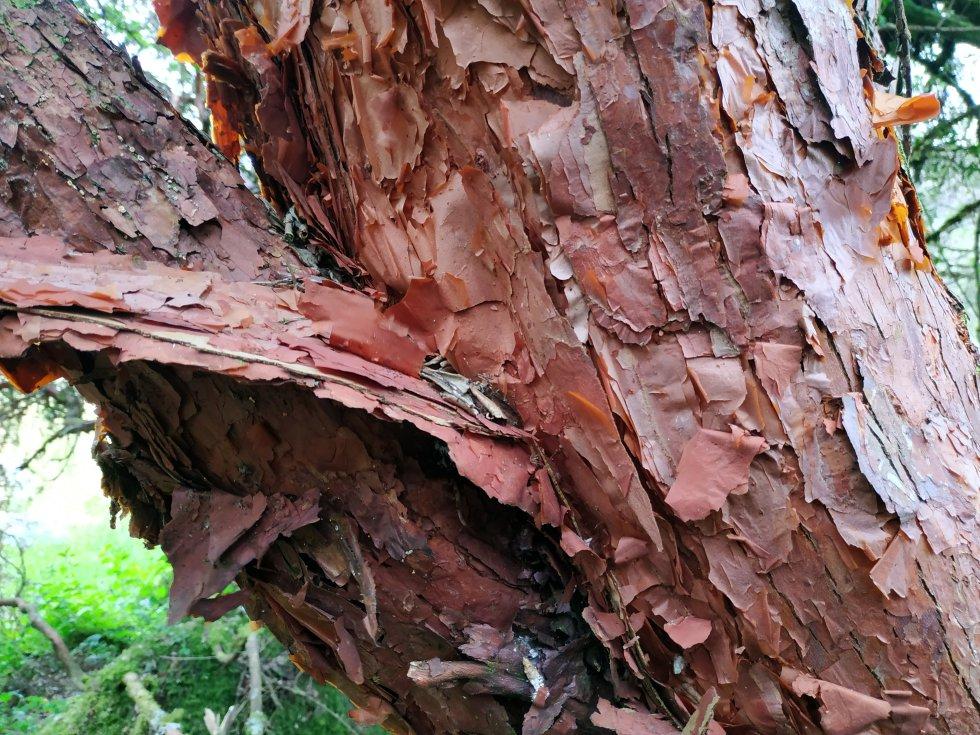 Estos árboles, que superan los 10 metros de altura, tienen el tallo pintado de rojo y repleto de cascarillas que se desprenden con el viento.