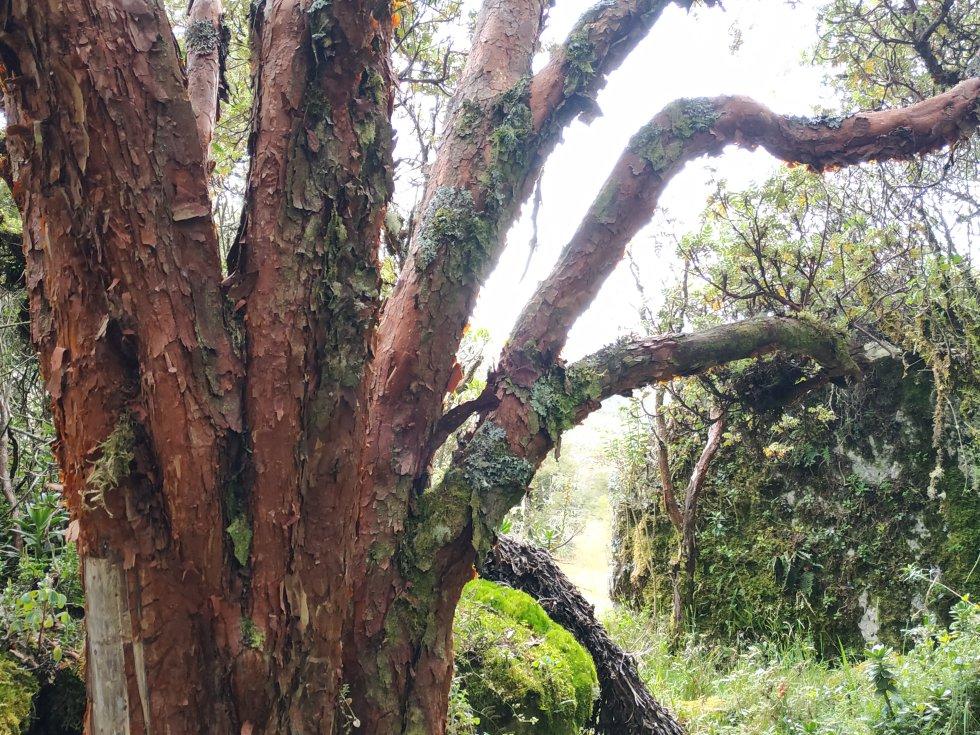 Esta especie está a punto de desaparecer por la ampliación de la frontera agropecuaria en los páramos y la tala para aprovechar su madera