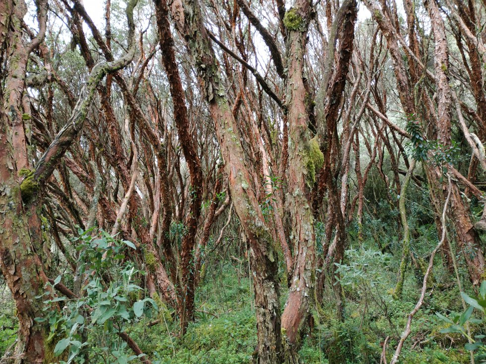 Estos árboles cuentan con la capacidad de adaptarse a condiciones de frío y crecer sobre los musgos de los páramos.