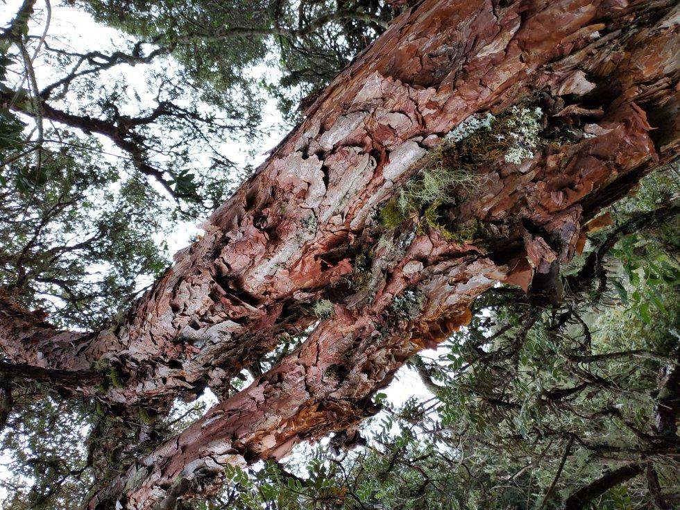 Estos árboles prestan diversos servicios ecosistémicos, como captura de carbono, liberación de oxígeno y brindar refugio a varios animales
