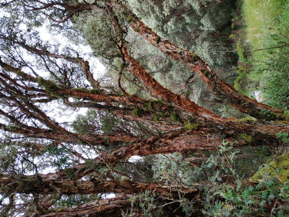 En Boyacá, el colorado es conocido como el árbol insignia de los páramos.