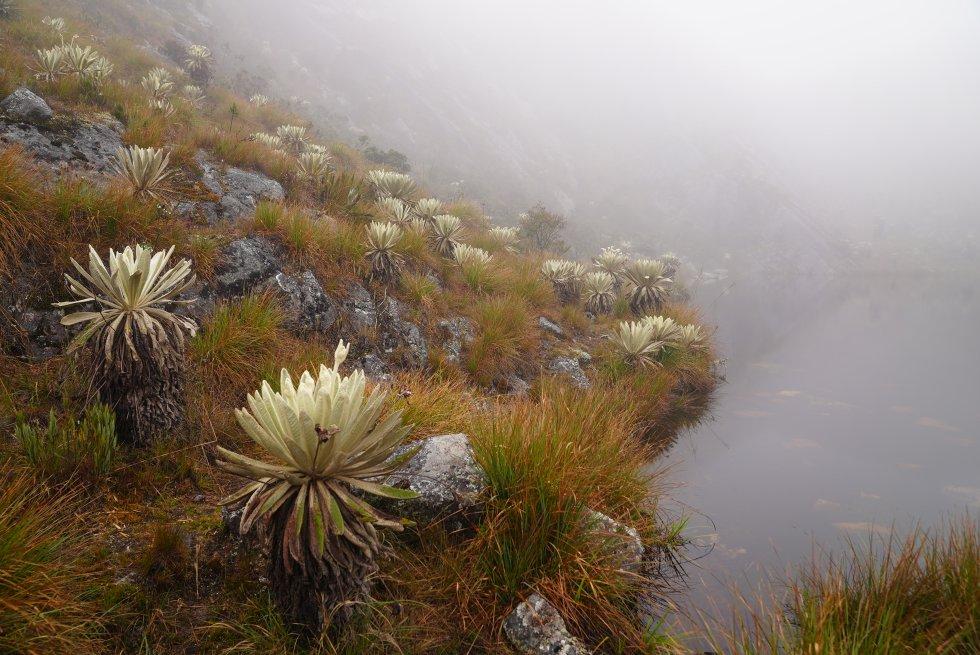 Las 18 especies de frailejones del páramo de Santurbán se encargan de captar el agua de la niebla para luego conformar las lagunas, ríos y humedales.