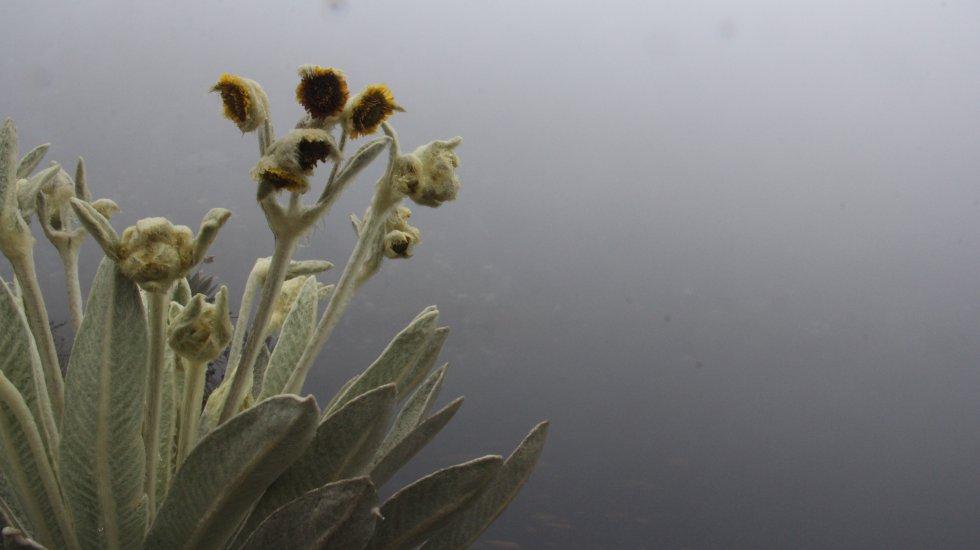 Santurbán alberga una explosión de frailejones, plantas que almacenan el agua de la niebla y luego la envían para formar lagunas, humedales y ríos. 18 especies han sido registradas por los expertos, una de las cifras más altas en Colombia.