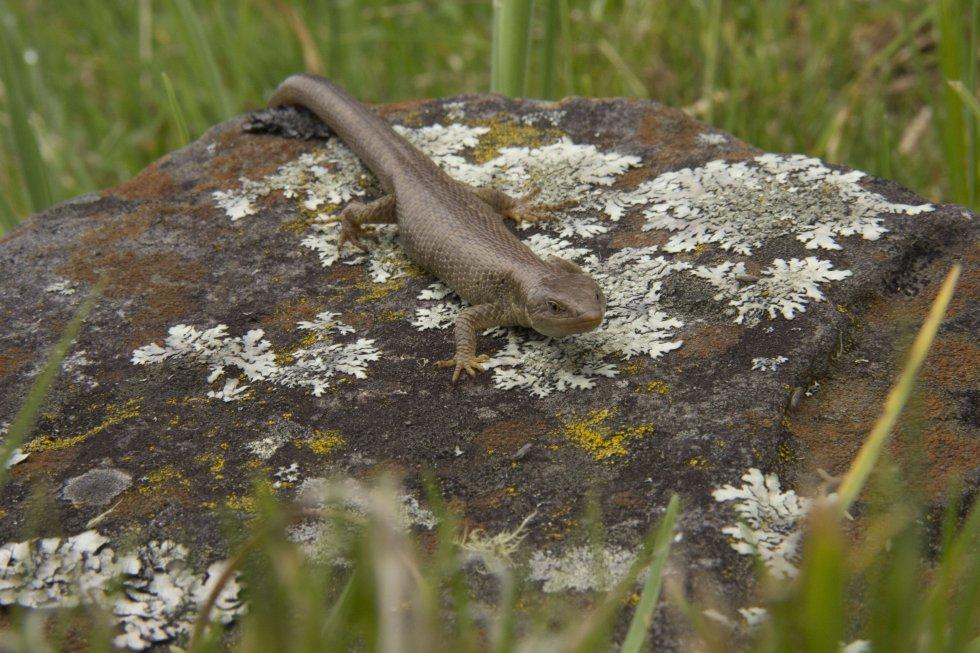 El lagarto de Pamplona (Anadia pamplonensis) fue registrado en la EXPEDICIÓN PÁRAMO. Es un reptil que en Colombia solo habita en ciertas zonas del páramo de Santurbán en Norte de Santander.